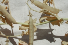 Reife Pflanze der Gommer Erbse