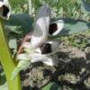 Ackerbohne Erschmatt